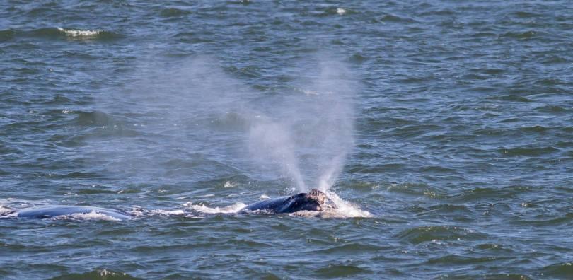 ballena borba